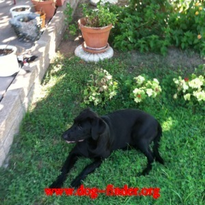 Lab, Chocolate, Chocolate brown with white chest. appears to be 6 to 8 months. adorable & playful.