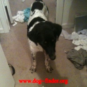 Mix, White and black, Very sweet female, she is about 30 lbs. she let us bathe her, she has a great temperament.