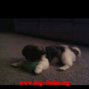 Shihtzu, Black and white, Female, name is lovey lost tuesday july 12 2011 contact at justinmaynes@ymail.com or call me at (909)894-9666