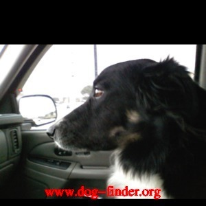 Border Collie, Black and white, Answers to beauty. lost 8:00 pm friday february 25 on mandevilla in plano/frisco texas. please call cherished family pet. 405-372-4608