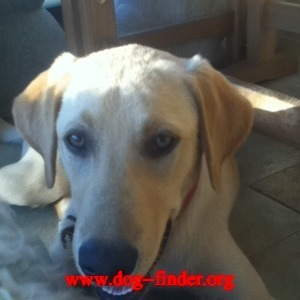 Labrador , Yellow, Lost 8/3/11, alhambra,ca, if found please text 626-927-7894
