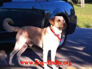LABRADOR RETRIEVER, YELLOW, Duke is a 2 year old intact male ...no collar but may be wearing a blue belly band