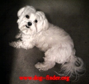 Maltese, White , She's a small white dog, she went missing on oct 12th. i had started to cut her hair but got tired so i stopped.