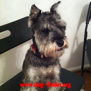 Schnauzer, Dark gray and white, Her name is bobo and she is one year old.