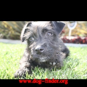 Scottish terrier mix, Black, Lily marie small with pink stud collar. lost in san diego shelter island on july 4.