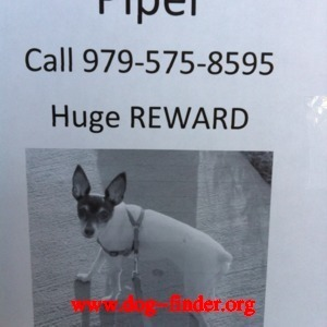Toy fox terrier, White body grey head, Her name us piper weigh 3-5 lbs. we lost her in main st. and legacy dr frisco tx call 979-575-9232 or  214-705-1080 i offer a reward